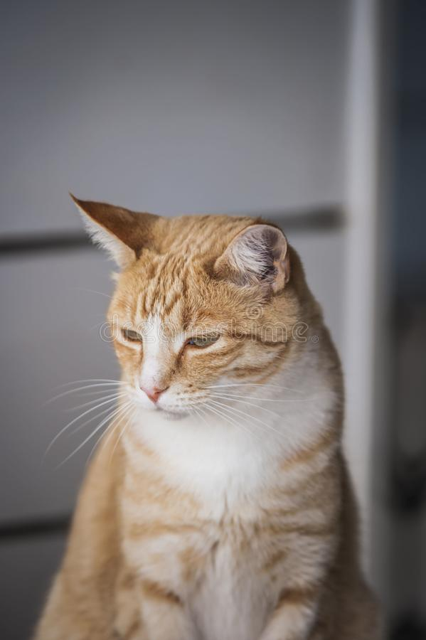 Free Ginger And White Cat, Sitting Upright, With Blurred Grey Background Royalty Free Stock Photography - 133925947