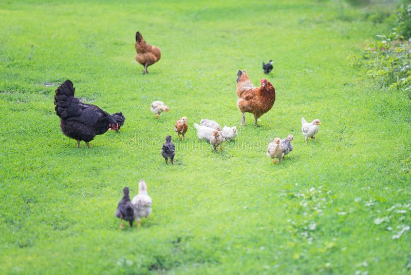Poultry yard with chickens. Ginger and black hens walks with young chickens on green grass outdoors stock image