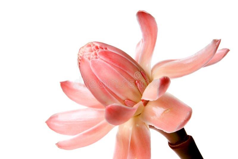 ginger blisko kwiat w dziczy fotografia stock