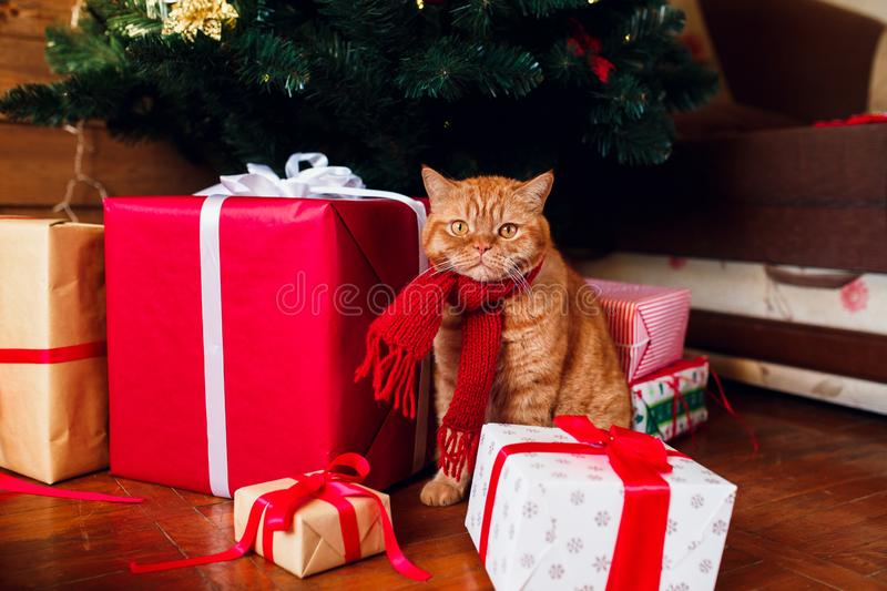 Ginger british cat in red knitted scarf sitting under Christmas tree and present boxes. stock photos