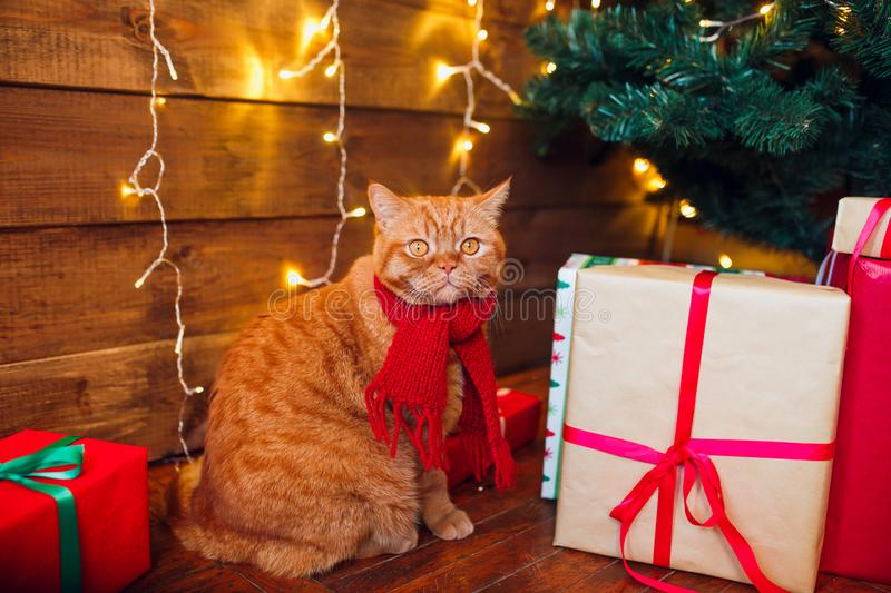 Ginger british cat in red knitted scarf sitting under Christmas tree and present boxes. royalty free stock photo