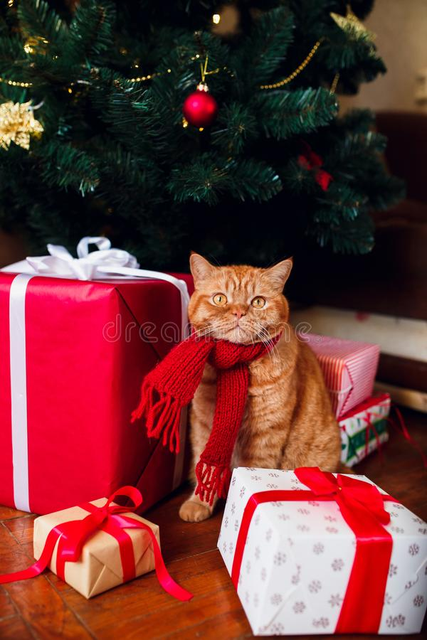 Ginger british cat in red knitted scarf sitting under Christmas tree and present boxes. stock image