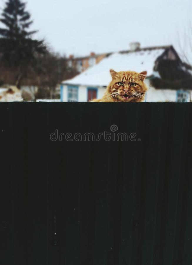 Ginger Cat images stock