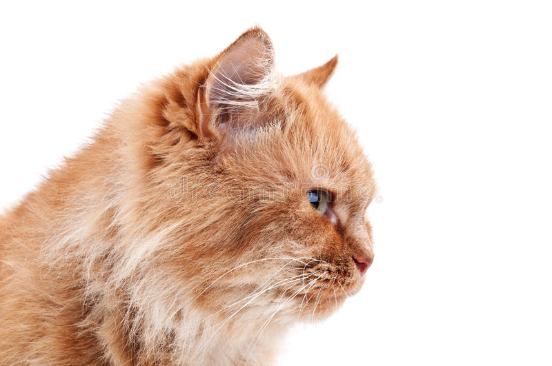Download Ginger cat stock photo. Image of curiosity, nature, color - 23440422