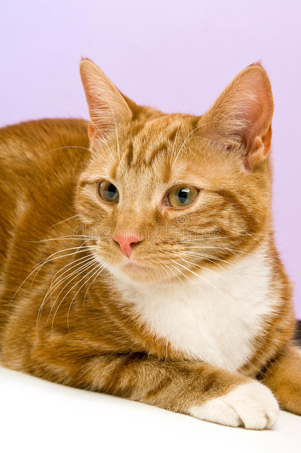 Download Ginger cat stock image. Image of striped, feline, adorable - 25644061