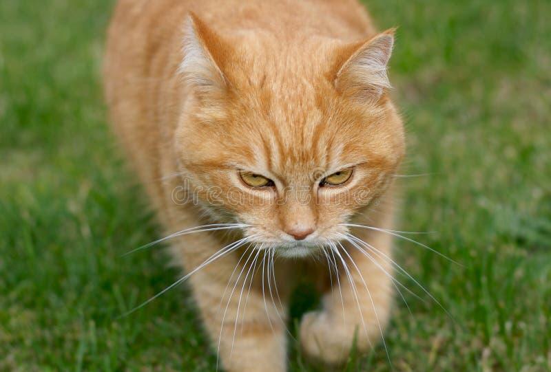 Download Ginger cat stock image. Image of closeup, staring, grass - 3277353
