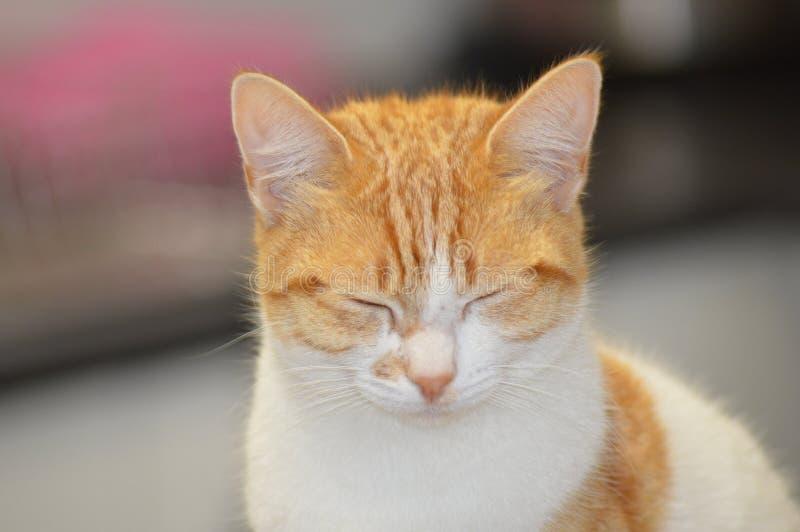 Ginger Cat fotografie stock