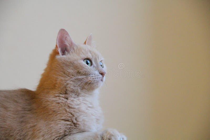 Ginger Cat photo stock