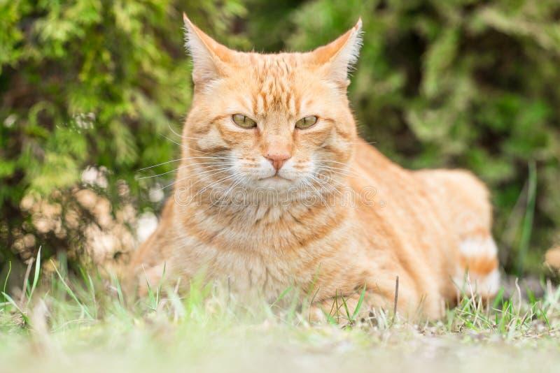 Ginger Cat photos stock