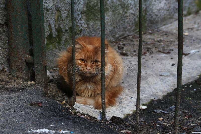 Ginger Cat stock image