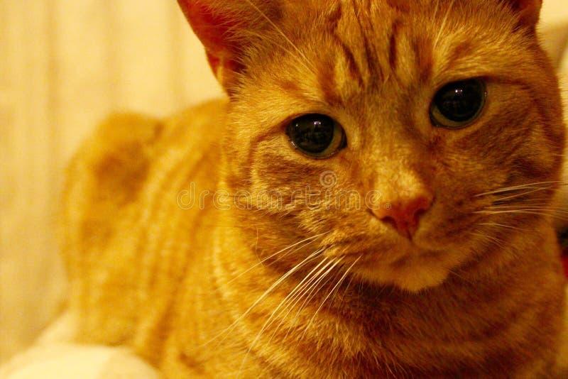 Ginger Cat lizenzfreies stockfoto