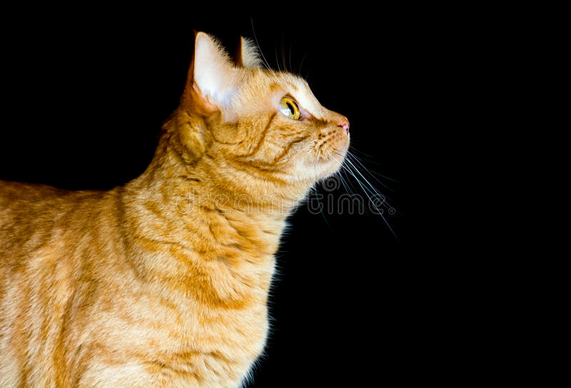 Ginger Cat Against Black Background fotografia stock