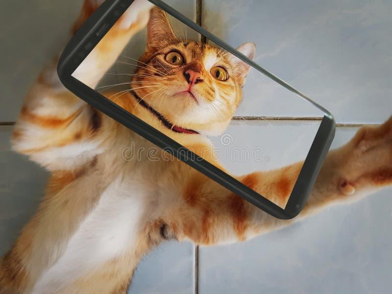 Ginger Cat Belly Up Taking en Selfie med mobiltelefonen royaltyfria bilder