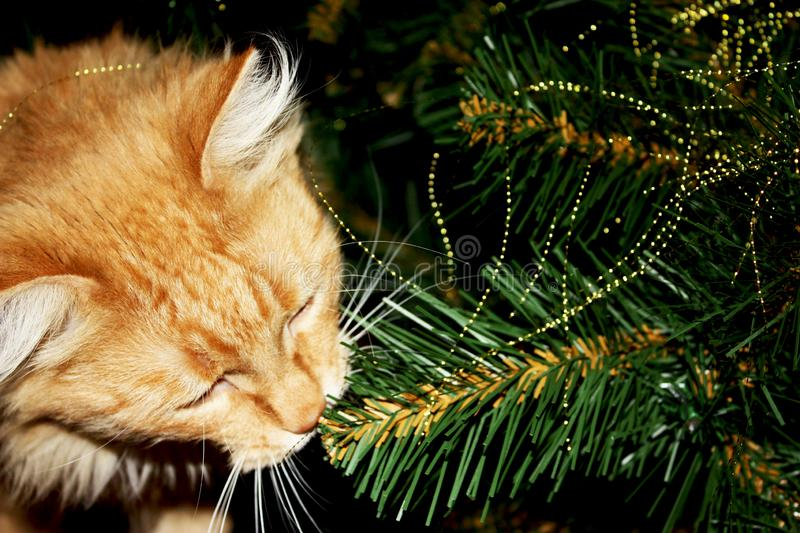 Ginger cat among branches artificial christmas tree. Fluffy red kitty among holiday decorations creates mood of. Photo of curious ginger cat playing among royalty free stock image