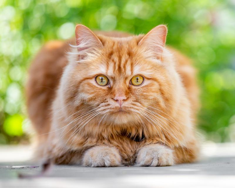 Ginger cat crouching on the ground. A ginger cat crouching on the ground with two paws showing looking at the camera stock image