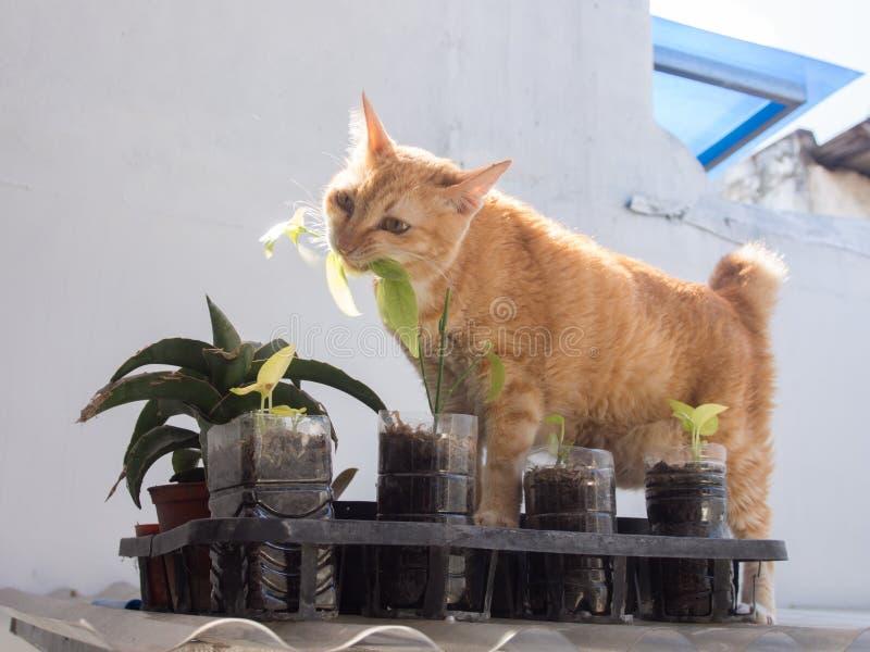 Ginger Cat Eating Leaf photos stock