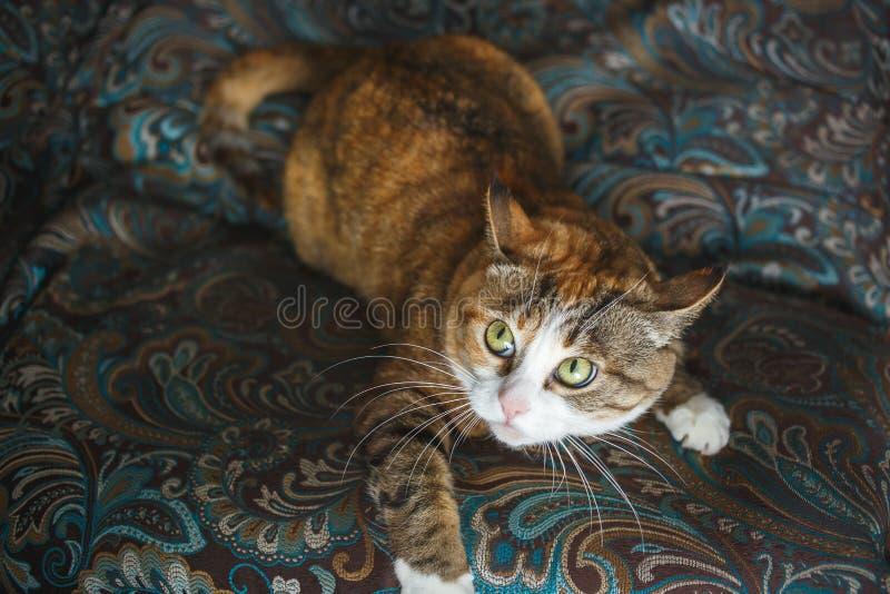 Ginger Cat fâché drôle avec l'expression du visage de Harismatic jouant sur le sofa bleu photos libres de droits