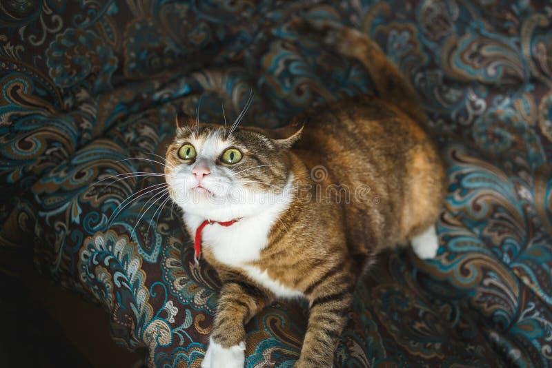 Ginger Cat fâché drôle avec l'expression du visage de Harismatic jouant sur le sofa bleu images stock