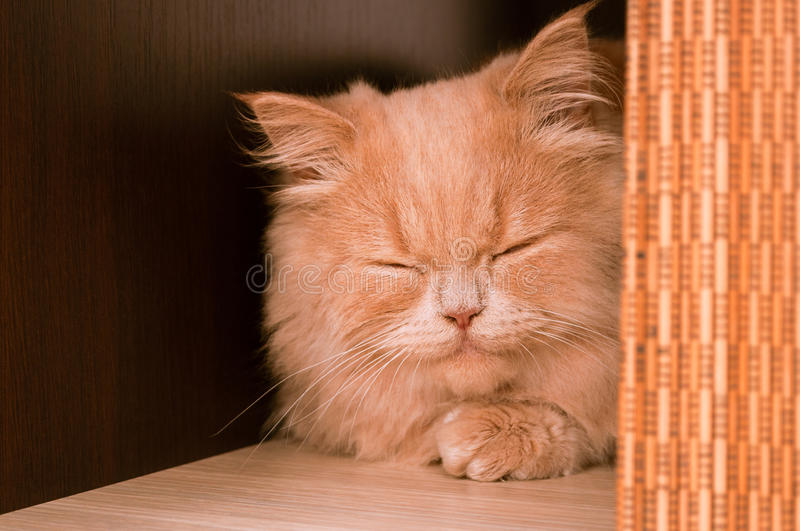 Ginger cat face sleeping or purring indoor royalty free stock photo