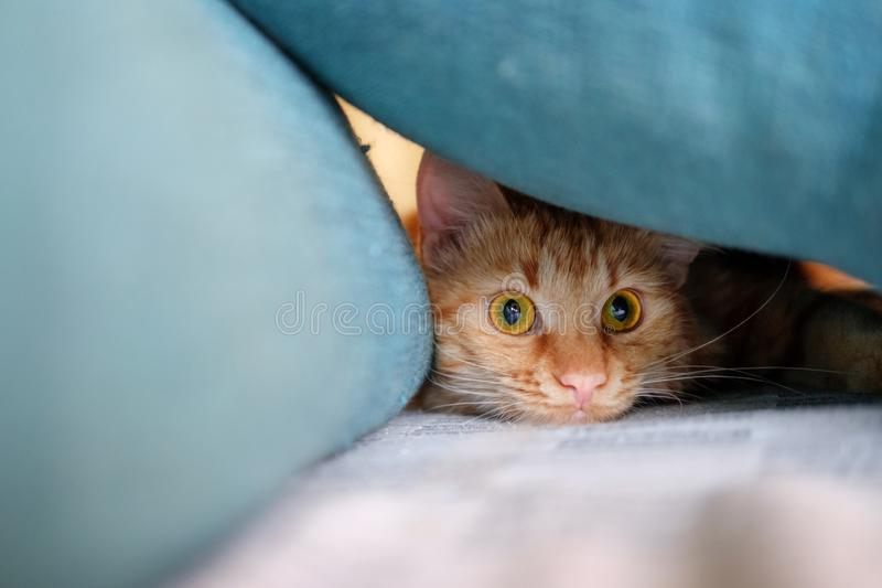 Ginger cat is getting ready to attack. Ginger cat is hiding and getting ready to attack stock image