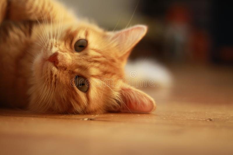 Ginger cat with green eyes royalty free stock photos