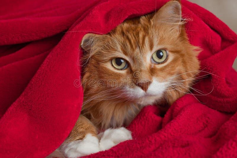 Ginger Cat Hiding in Blanket stock photo