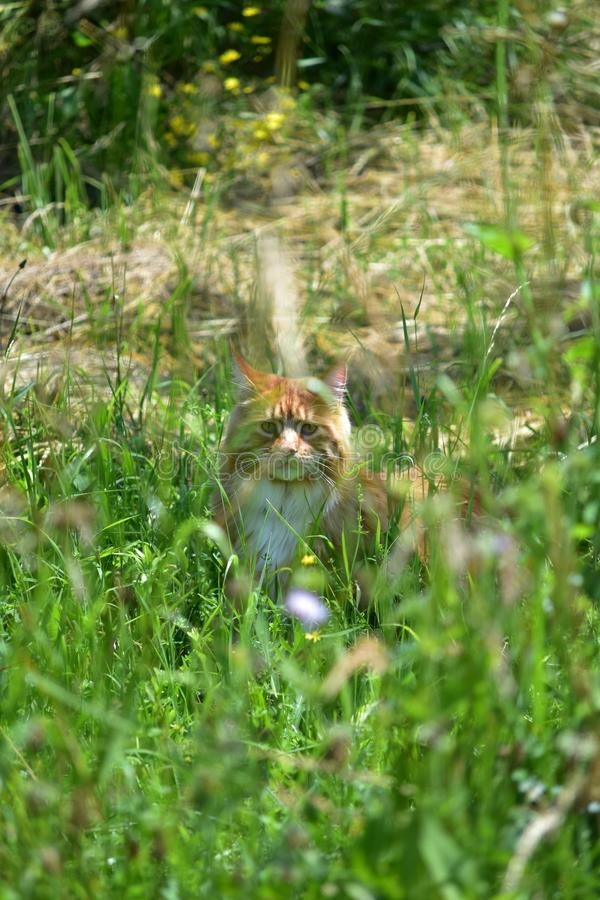 Ginger cat hiding in the high grass. Ginger cat hiding in the high green grass stock image