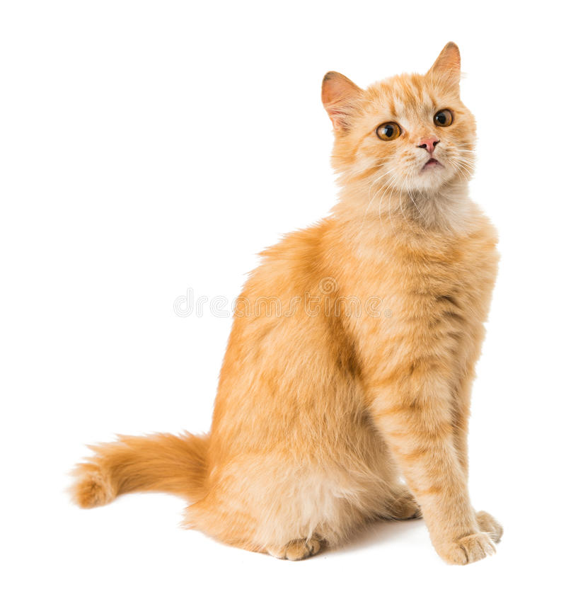 Download Ginger cat stock image. Image of orange, moving, background - 35212037