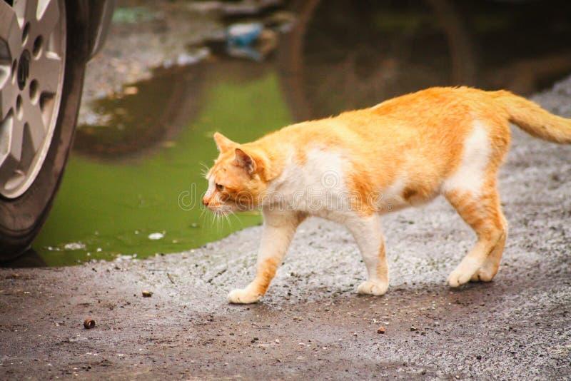Ginger Cat royalty-vrije stock foto's