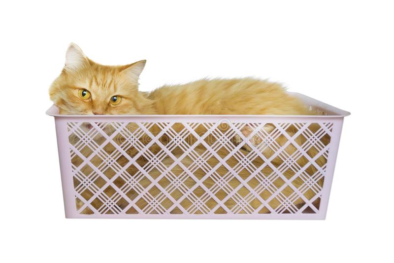 Ginger cat lies in plastic box isolated on white background. Red kitten in crate. Fluffy pet is going to sleep there stock images
