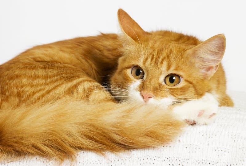 Ginger Cat Looking stock afbeeldingen