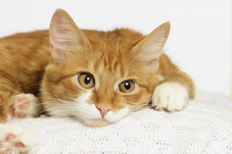 Ginger Cat Looking stock fotografie