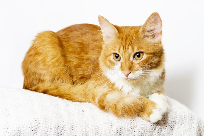 Ginger Cat Looking royalty-vrije stock foto's