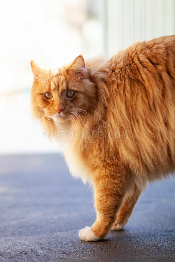Ginger cat looking intensely. Ginger cat looking intensely - vertical image stock photography