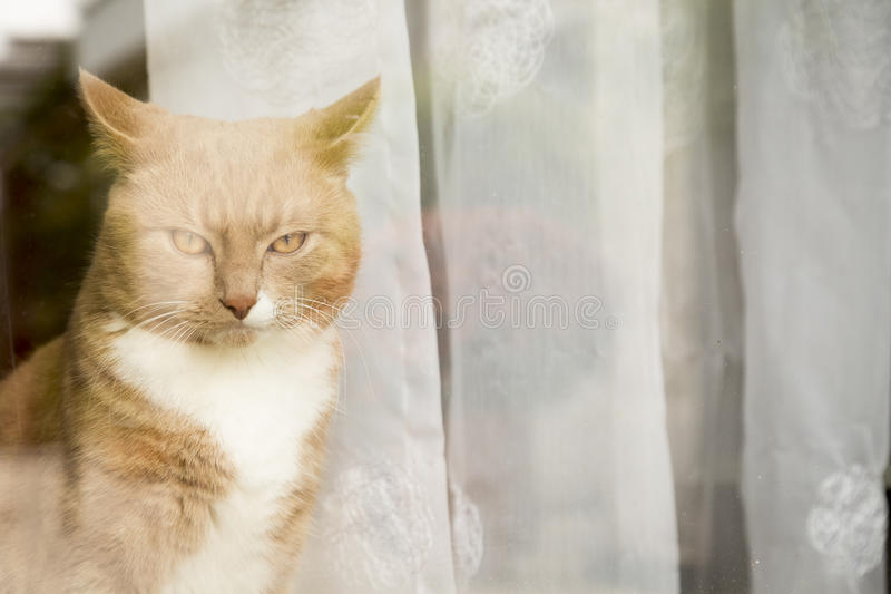 Ginger Cat looking outside the window. Ginger cat in comfortable position behind window at home stock photos