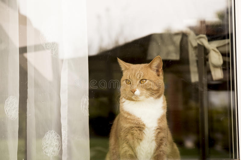 Ginger Cat looking outside the window. Ginger cat in comfortable position behind window at home stock photography