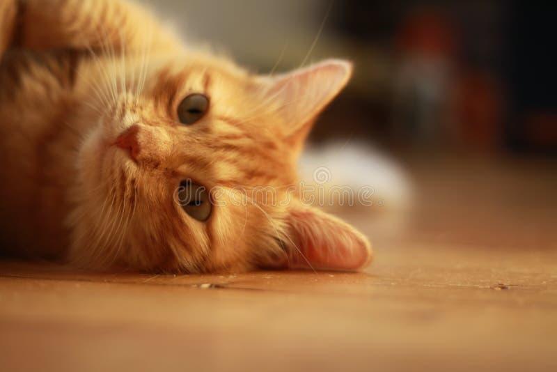 Ginger Cat med gröna ögon royaltyfria foton