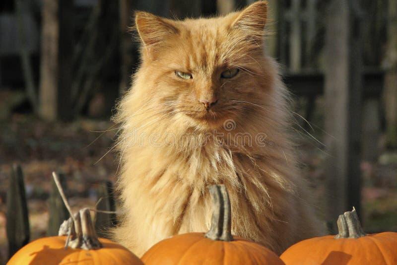 Ginger Cat mit Kürbisen lizenzfreies stockbild