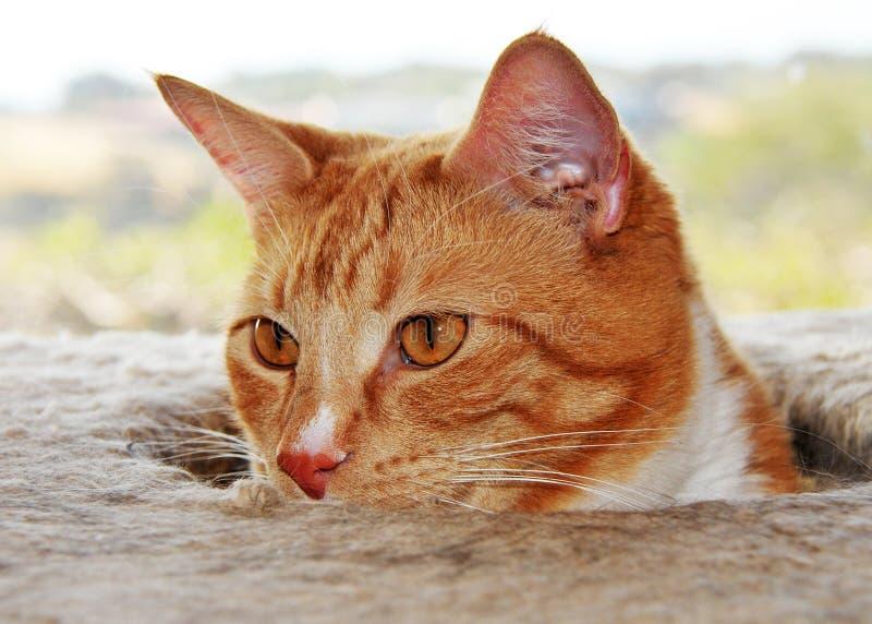 GINGER CAT Peeks sobre a árvore do gato imagem de stock royalty free