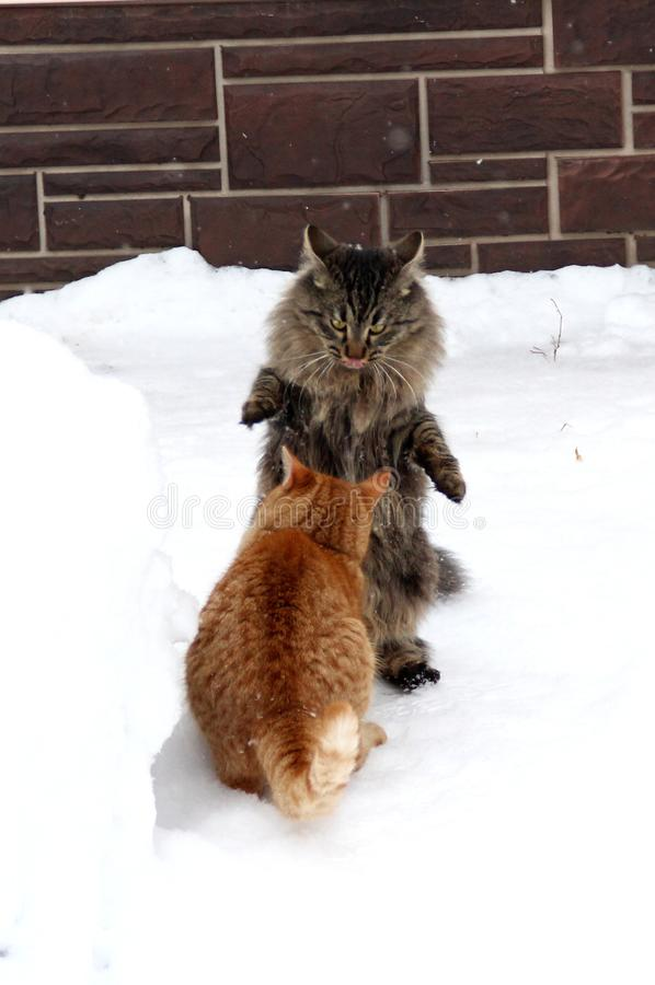 Two domestic kittens playing in the snow. stock photo