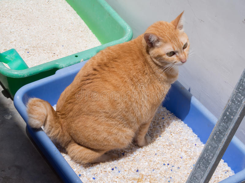 Ginger Cat Pooping/orina en la litera fotos de archivo