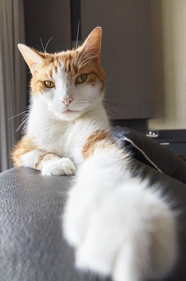 Ginger Cat Reaching Towards Camera fotografering för bildbyråer