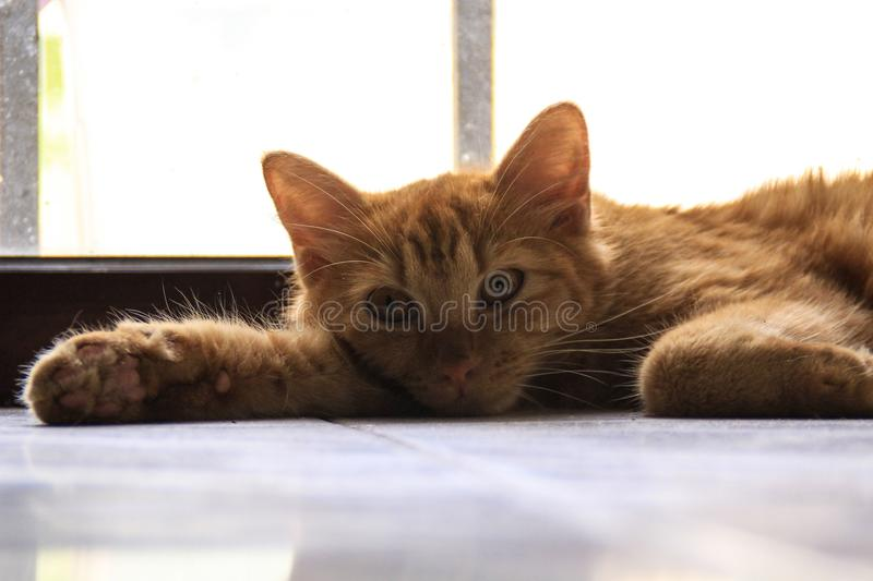 Ginger Cat Relaxing stock image
