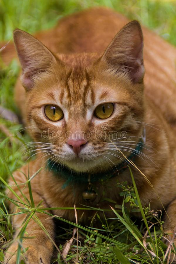 Ginger cat relaxing royalty free stock images