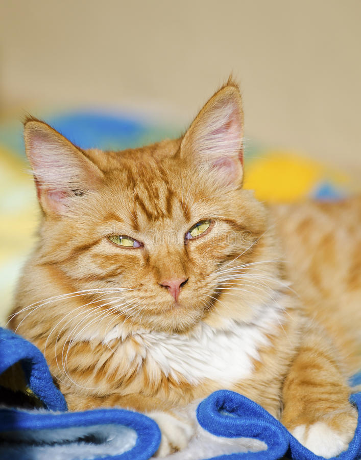 Download Ginger cat relaxing stock photo. Image of tabby, charming - 33312868
