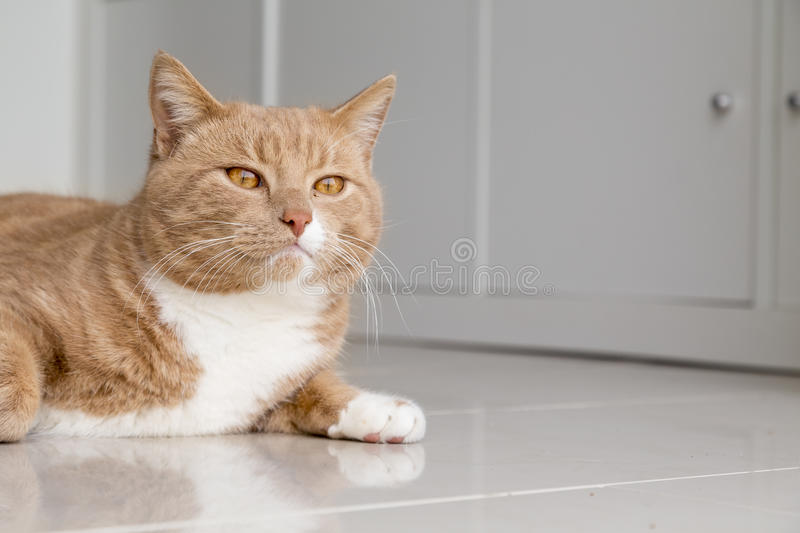 Ginger Cat relaxing at home. Ginger cat in comfortable position on floor at home royalty free stock photography