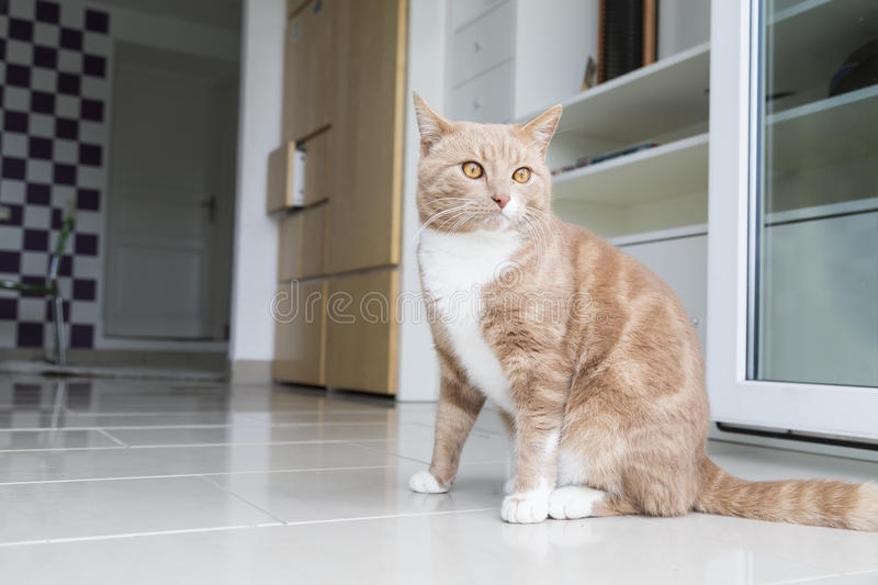 Ginger Cat relaxing at home. Ginger cat in comfortable position on floor at home stock images