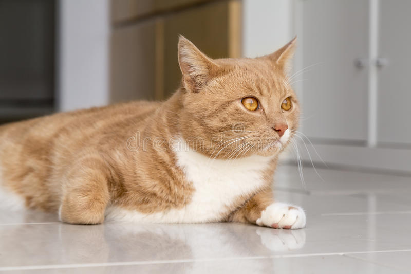Ginger Cat relaxing at home. Ginger cat in comfortable position on floor at home royalty free stock photos