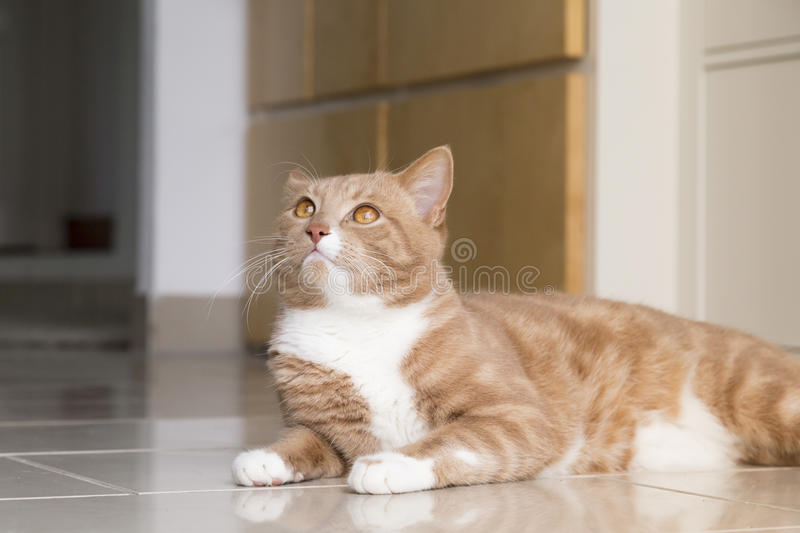 Ginger Cat relaxing at home. Ginger cat in comfortable position on floor at home stock photo