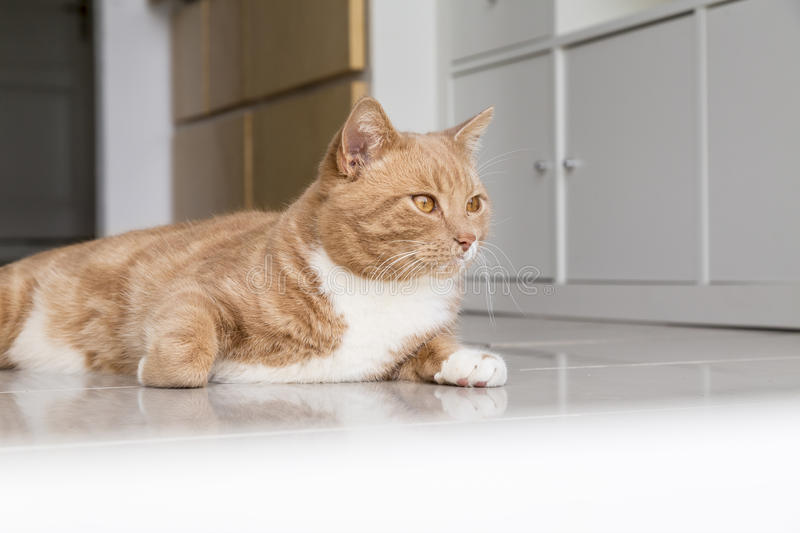 Ginger Cat relaxing at home. Ginger cat in comfortable position on floor at home royalty free stock images